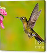 Tyrian Metaltail Hummingbird Canvas Print