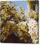 Up Into Wisteria Canvas Print