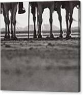 Upstanding Camargue Canvas Print