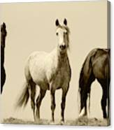 Usa, Wyoming, Young Wild Stallions Canvas Print