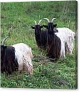 Valais Blackneck Goats Canvas Print