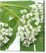 Valerian Flowers (valeriana Officinalis) Canvas Print
