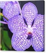 Vanda Orchid Canvas Print