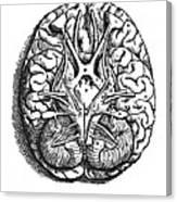 Vesalius: Brain Canvas Print