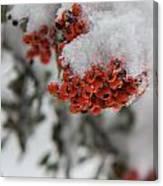 Viburnum Shrub In Snow Canvas Print
