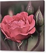 Vintage Rose No. 4 Canvas Print