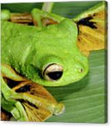 Wallace's Flying Frog Canvas Print