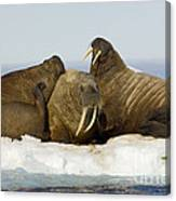 Walruses Resting On Ice Floe Canvas Print