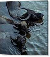Water Buffalos Canvas Print