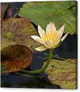 Water Lily 25 Canvas Print