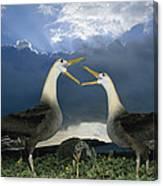 Waved Albatross Courtship Dance Canvas Print