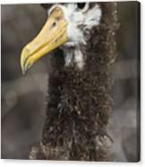 Waved Albatross Molting Juvenile Canvas Print