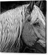 Western Horse In Alberta Canada Canvas Print