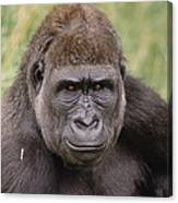 Western Lowland Gorilla Young Male Canvas Print