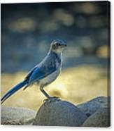Western Scrub Jay Thief Canvas Print