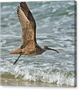 Whimbrel In Flight Canvas Print