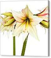 White Amaryllis Flower Canvas Print