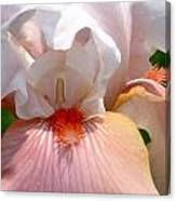 White And Pink Iris 2 Canvas Print