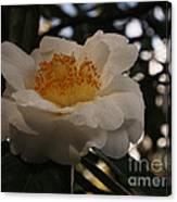 White Camellia Canvas Print