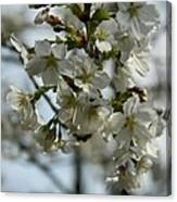White Cherry Blossoms Canvas Print