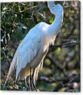 White Egret Canvas Print