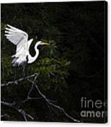 White Egret's Takeoff Canvas Print