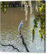 White Heron In Magnolia Cemetery Canvas Print