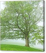 White Oak Tree In Fog Canvas Print