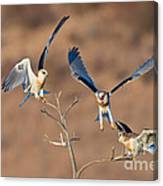 White-tailed Kite Siblings Canvas Print
