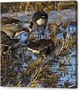 Whitefront Goose Canvas Print