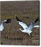 Whooping Cranes Canvas Print