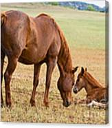 Wild Horse Mother And Foal Canvas Print