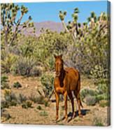 Wild Horse Of Joshua Tree Canvas Print