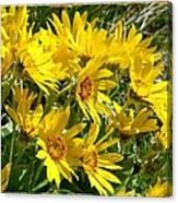 Wild Okanagan Sunflowers Canvas Print