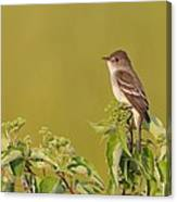 Willow Flycatcher Canvas Print