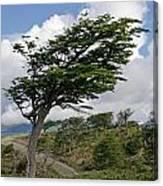 Wind-bent Tree In Tierra Del Fuego Canvas Print