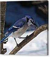 Hungry Winter Blue Jay Canvas Print