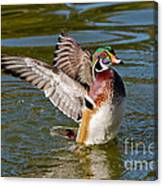 Wood Duck Drake Flapping Wings Canvas Print