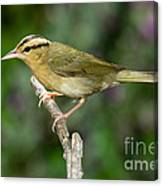 Worm-eating Warbler Canvas Print