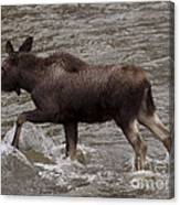 Yearling Moose In The Shoshone River   #1289 Canvas Print