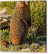 Yellow Bellied Marmot On Alert In  Rocky Mountain National Park Canvas Print