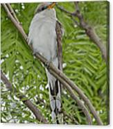 Yellow-billed Cuckoo Canvas Print