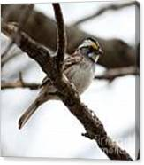 Yellow Crowned Sparrow Canvas Print