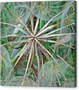 Yellow Goat's Beard Wildflower Seed Head - Tragopogon Dubius Canvas Print