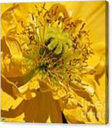 Yellow Iceland Poppy Canvas Print