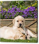Yellow Labrador Puppies Canvas Print