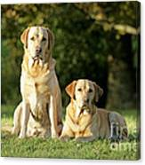 Yellow Labrador Retrievers Canvas Print