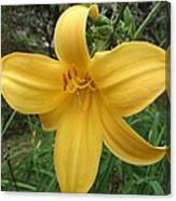 Yellow Lilly Flower Canvas Print