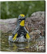 Yellow-rumped Warbler Canvas Print