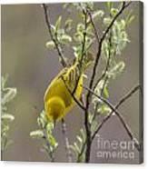Yellow Warbler -1 Canvas Print